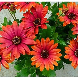 Flower Seeds : Orange Cape Daisy Plant Flowers Exotic Flower Seeds Garden Home Garden Seeds Eco Pack Plant Seeds By Creative Farmer