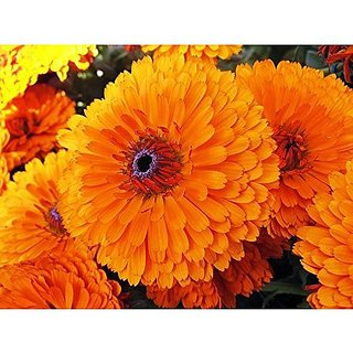 Flower Seeds : Calendula Officinalis Fiesta Gitana Superior Mix Seeds For Monsoon Greenary Plants Garden Home Garden Seeds Eco Pack Plant Seeds By Creative Farmer