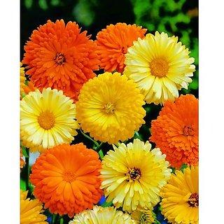 Flower Seeds : Pot Marigold Orange Seeds Flower Outside Sitting Room Garden Home Garden Seeds Eco Pack Plant Seeds By Creative Farmer