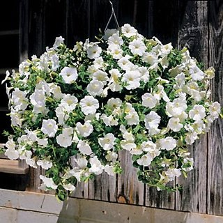 Flower Seeds : Petunia Opera Supreme White Seeds For Railing Planter Garden Home Garden Seeds Eco Pack Plant Seeds By Creative Farmer