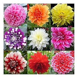 Flower Seeds : Dahlia-Pompon Mia Mix Seeds For Gardening Garden Home Garden Seeds Eco Pack Plant Seeds By Creative Farmer