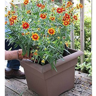 Flower Seeds : Mouse Ear Coreopsis Air Purifier Garden Home Garden Seeds Eco Pack Plant Seeds By Creative Farmer