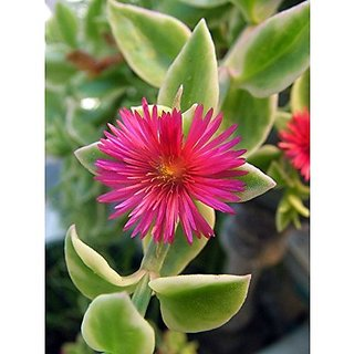 Flower Seeds : Succulant Type Plant With Flower Livingston Daisy Garden Of Flowers Garden Home Garden Seeds Eco Pack Plant Seeds By Creative Farmer