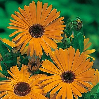 Flower Seeds : Pot Marigold (Dwarf) Flower Seed Packets Air Purifying Plant Seeds Garden Home Garden Seeds Eco Pack Plant Seeds By Creative Farmer