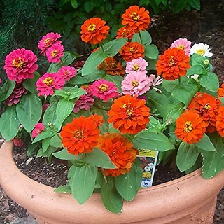 Flower Seeds : Zinnia Elegance Dahlia Flowered Mix Home Mix Bush Flower Garden Home Garden Seeds Eco Pack Plant Seeds By Creative Farmer