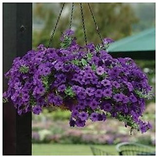 Flower Seeds : Petunia Blue Fuzz Packet Seeds Garden Home Garden Seeds Eco Pack Plant Seeds By Creative Farmer