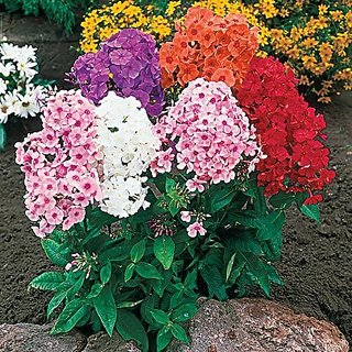 Flower Seeds : Phlox Beauty Lady Mixed Gardening Seeds Garden Home Garden Seeds Eco Pack Plant Seeds By Creative Farmer