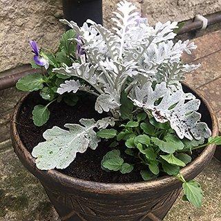 Flower Seeds : Centaurea Cineraria Silver Dust Flower Seeds For Car Porch Garden Home Garden Seeds Eco Pack Plant Seeds By Creative Farmer