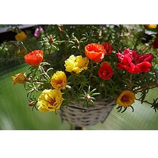 Flower Seeds : Portulaca Hanging Basket Flower Seeds Gardening Seeds Garden Home Garden Seeds Eco Pack Plant Seeds By Creative Farmer