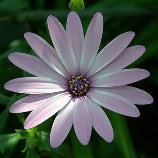 Flower Seeds : Pink African Daisy Seeds For Monsoon Plant Outdoor Seeds Garden Home Garden Seeds Eco Pack Plant Seeds By Creative Farmer