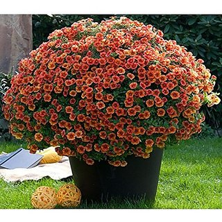 Flower Seeds : Petunia Prizm Sunshine Hanging Flower Seeds For Kitchen Terrace Balcony Poly House Gardening Garden Home Garden Seeds Eco Pack Plant Seeds By Creative Farmer
