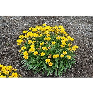 Flower Seeds : Golden Coreopsis Best For Gardening Seeds Flowering Plants For Lawn Garden Home Garden Seeds Eco Pack Plant Seeds By Creative Farmer