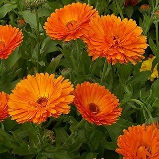 Flower Seeds : Calendula Officinalis Fiesta Gitana (Dwarf) Growing Seeds Garden Seeds Packet Garden Home Garden Seeds Eco Pack Plant Seeds By Creative Farmer