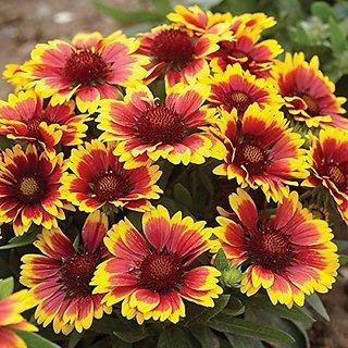 Flower Seeds : Arizona Sun Gaillardia Garden Seeds Best Germination Garden Home Garden Seeds Eco Pack Plant Seeds By Creative Farmer