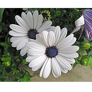 Flower Seeds : Dimorphothica-White King Plant Seeds Exotic Garden Home Garden Seeds Eco Pack Plant Seeds By Creative Farmer