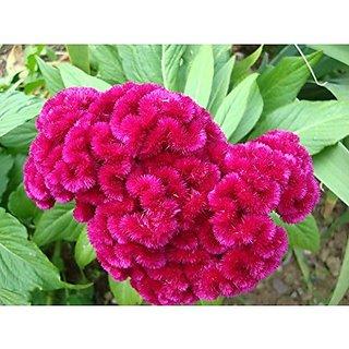 Flower Seeds : Lalmurga Garden Seeds For Flower Plants House Garden Garden Home Garden Seeds Eco Pack Plant Seeds By Creative Farmer