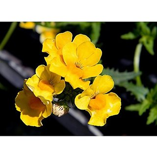 Flower Seeds : Nemesia Sunsatia Lemon Seasonal Flowering Plants Garden Home Garden Seeds Eco Pack Plant Seeds By Creative Farmer