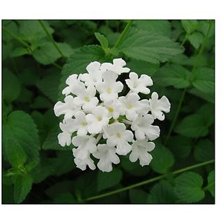 Flower Seeds : SimplerS Joy Mix White Heirloom Seeds Garden Home Garden Seeds Eco Pack Plant Seeds By Creative Farmer
