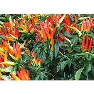Ornamental Seeds : Ornamental Chilli Red, Orange, Yellow, Purple, Lavender, And White Mixed Non Gmo Seeds Garden Home Garden Seeds Eco Pack Plant Seeds By Creative Farmer