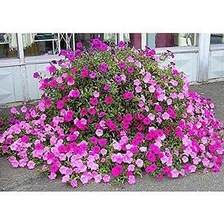 Flower Seeds : Petunia Rose Pinky Flower Flower Seeds Semi Indoor Suitable Garden Home Garden Seeds Eco Pack Plant Seeds By Creative Farmer