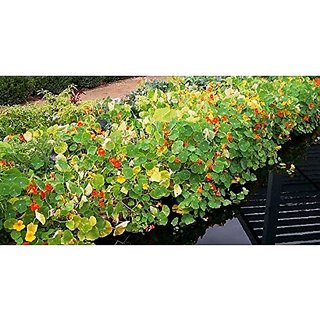 Flower Seeds : Nasturtiums Wall Climbing Flower Home Gardening Seeds Garden Seeds For Balcony Garden Home Garden Seeds Eco Pack Plant Seeds By Creative Farmer