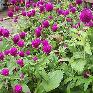Flower Seeds : Ummigonde Garden Hedge Garden Home Garden Seeds Eco Pack Plant Seeds By Creative Farmer