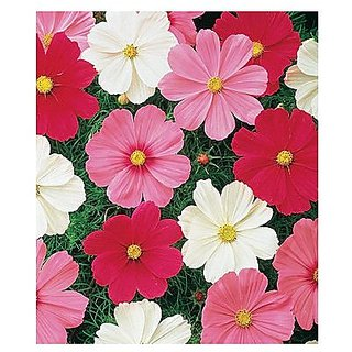 Flower Seeds : Cosmos Red Mixed Flower Seed For Shade Flower Seeds For Office Garden Garden Home Garden Seeds Eco Pack Plant Seeds By Creative Farmer