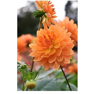 Flower Seeds : Dahlia Annual Blooming Plants Flower Seed All Season Seeds Plant Garden Home Garden Seeds Eco Pack Plant Seeds By Creative Farmer