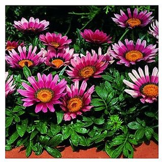 Flower Seeds : Gazania Bolero Mixed Planting Flowers Seeds Balcony Pot Flower Plant Seeds Garden Home Garden Seeds Eco Pack Plant Seeds By Creative Farmer