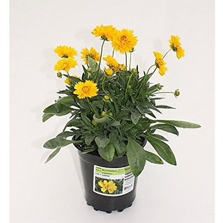 Flower Seeds : Calliopsis Garden Balcony Flowering Plants For Lawn Garden Home Garden Seeds Eco Pack Plant Seeds By Creative Farmer