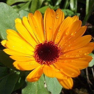 Flower Seeds : Orange Pot Marigold (Dwarf) Planting Flowers Garden Herge Garden Home Garden Seeds Eco Pack Plant Seeds By Creative Farmer