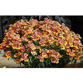 Flower Seeds : Nemesia Prestige Growing Seeds Rooftop Garden Home Garden Seeds Eco Pack Plant Seeds By Creative Farmer