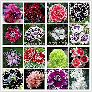 Flower Seeds : Dianthus-Baby Doll Plants Seeds For Kitchen Garden Garden Home Garden Seeds Eco Pack Plant Seeds By Creative Farmer