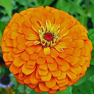 Flower Seeds : Zinnia Elegans Orange Garden Seeds For Plants Garden Home Garden Seeds Eco Pack Plant Seeds By Creative Farmer
