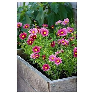 Flower Seeds : Dwarf Cosmos For Hanging Exotic Seeds Low Maintenance Garden Home Garden Seeds Eco Pack Plant Seeds By Creative Farmer