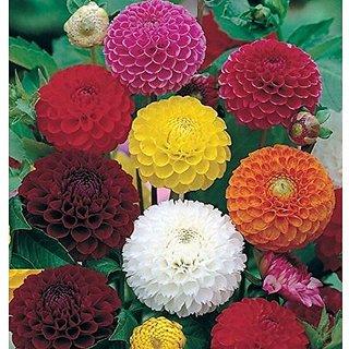 Flower Seeds : Long Lasting Flower Dahlia-Bambino Mixed Garden Seeds Packet Garden Home Garden Seeds Eco Pack Plant Seeds By Creative Farmer