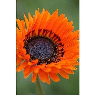 Flower Seeds : Venidium-Orange Prince Pfp Seeds For Kitchen Garden Variety Seeds Garden Home Garden Seeds Eco Pack Plant Seeds By Creative Farmer