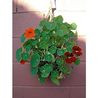 Flower Seeds : Nasturtiums For Hanging Baskets Exotic Seeds Live Plant Seeds Garden Home Garden Seeds Eco Pack Plant Seeds By Creative Farmer
