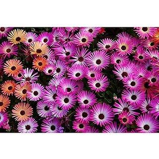 Flower Seeds : Mesembryanthemum Hybrid Seed Garden Home Garden Seeds Eco Pack Plant Seeds By Creative Farmer