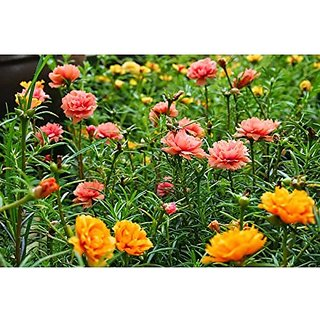 Flower Seeds : Portulaca Grandiflora Seed Packets Best Packet Garden Home Garden Seeds Eco Pack Plant Seeds By Creative Farmer