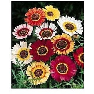 Flower Seeds : Outsidepride Chrysanthemum Rainbow Mix Flower Seeds For Gardening Garden Home Garden Seeds Eco Pack Plant Seeds By Creative Farmer
