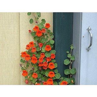 Flower Seeds : Nasturtium Climber Flower Seeds Plant Flowers Climber Flowering Plants- Garden Outdoor Garden Home Garden Seeds Eco Pack Plant Seeds By Creative Farmer