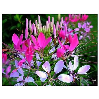 Flower Seeds : Cleome Hassleriana Hanging Flower Seeds For Home Garden Garden Home Garden Seeds Eco Pack Plant Seeds By Creative Farmer