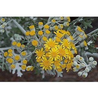 Flower Seeds : Dusty Miller Hyb Path Hedge Garden Garden Home Garden Seeds Eco Pack Plant Seeds By Creative Farmer