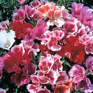 Flower Seeds : Clarkia Amoena Thick Flowering Garden Balcony Garden Home Garden Seeds Eco Pack Plant Seeds By Creative Farmer
