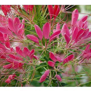 Flower Seeds : Cleome Spinosa Mixed Plant Seeds For Edging Garden Home Garden Seeds Eco Pack Plant Seeds By Creative Farmer