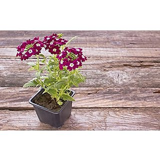 Flower Seeds : Verbena Ideal Mix Home Plant Seeds For Edging Garden Home Garden Seeds Eco Pack Plant Seeds By Creative Farmer