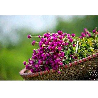 Flower Seeds : Ornamental Flowers Gomphrena Globosa Flower Seeds Go Green Garden Home Garden Seeds Eco Pack Plant Seeds By Creative Farmer