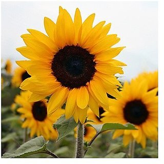 Flower Seeds : Dwarf Sunflower Seeds Flower Seeds For Rainy Season Flower Garden Garden Home Garden Seeds Eco Pack Plant Seeds By Creative Farmer