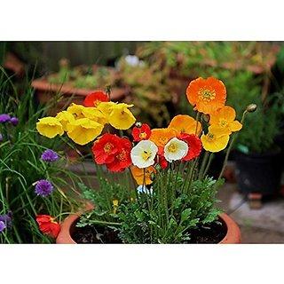 Flower Seeds : California Sunlight -Eschscholzia Plant Flowers Planting Seeds Garden Home Garden Seeds Eco Pack Plant Seeds By Creative Farmer